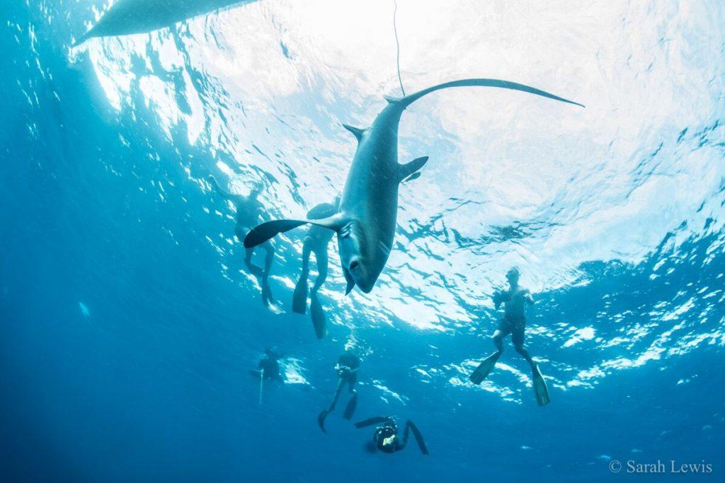 Shark tagging alor hero