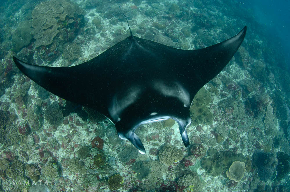 Snorkelling in Komodo Manta