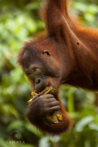 Orangutan Banana