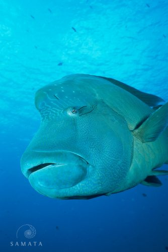 Humphead Wrasse Vertical