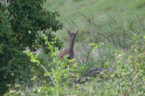 Deer at Batu Monco