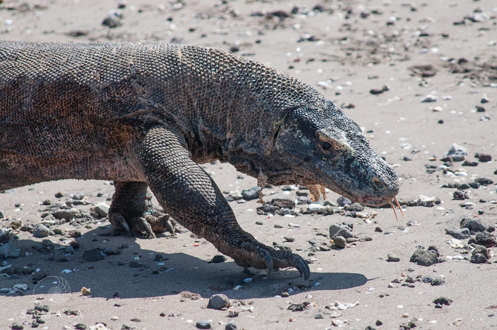 Komodo Dragon on Beach