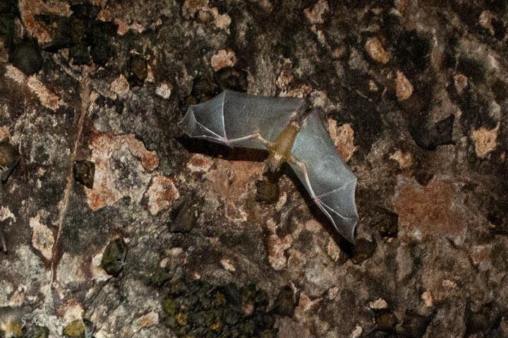 Bat in a Cave