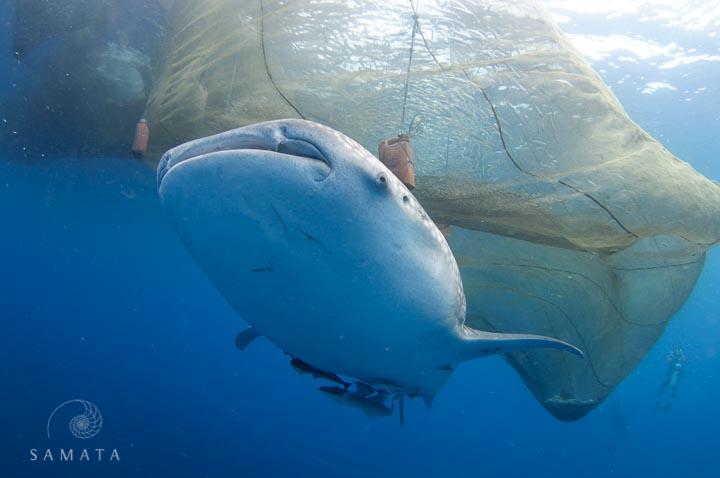 whale shark under a bagan