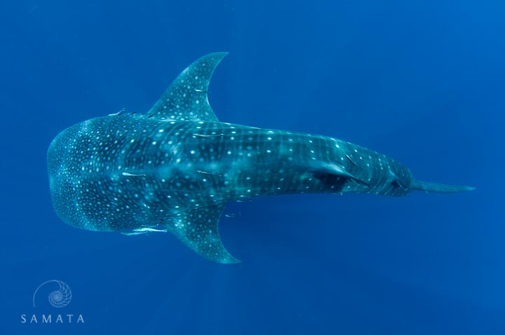Whale Shark Encounters
