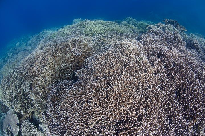 Lava Flow Corals Banda Islands