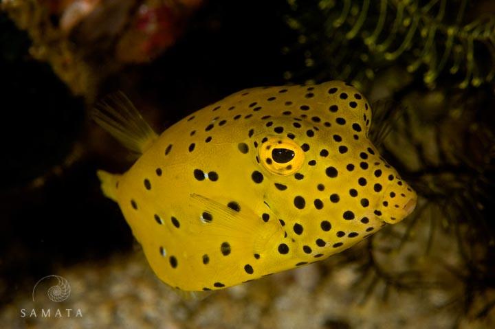 Yellow Box Fish Puffer