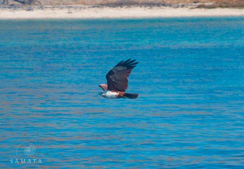 Brahminy Kite Birdlife in Indonesia