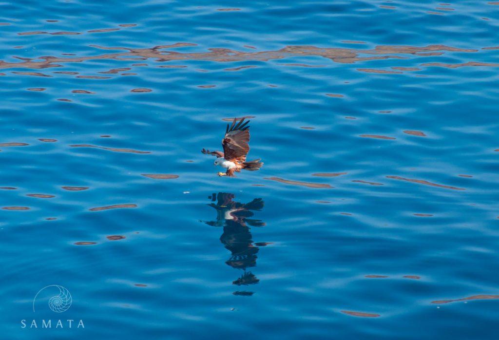 Brahminy Kite Fishing