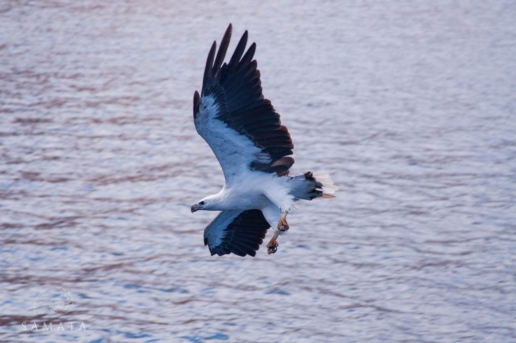 Sea Eagle Birds of Indonesia