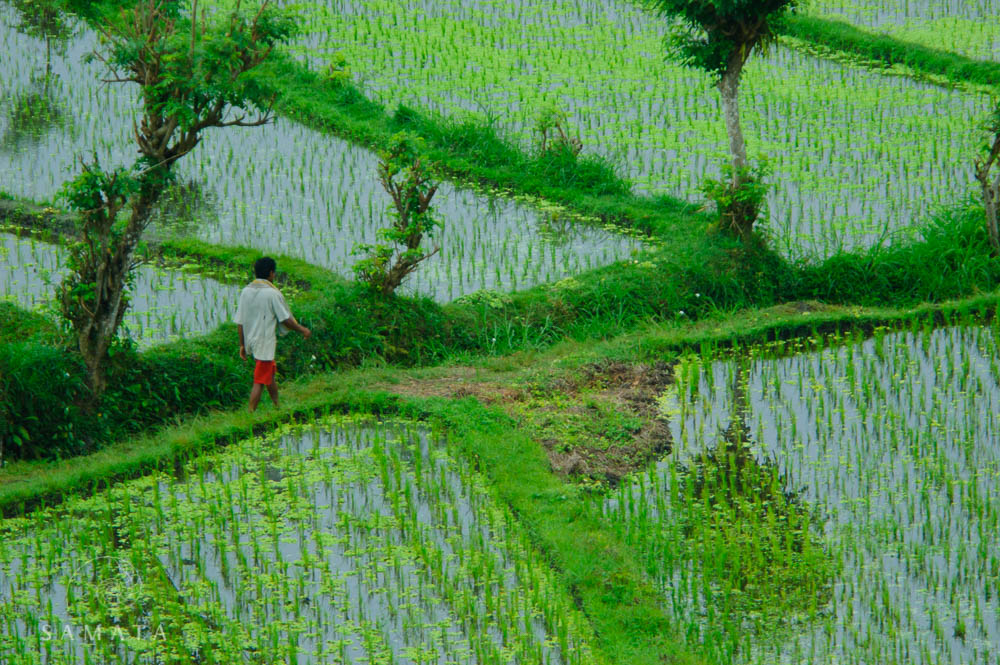 Farmer Rice Terrace