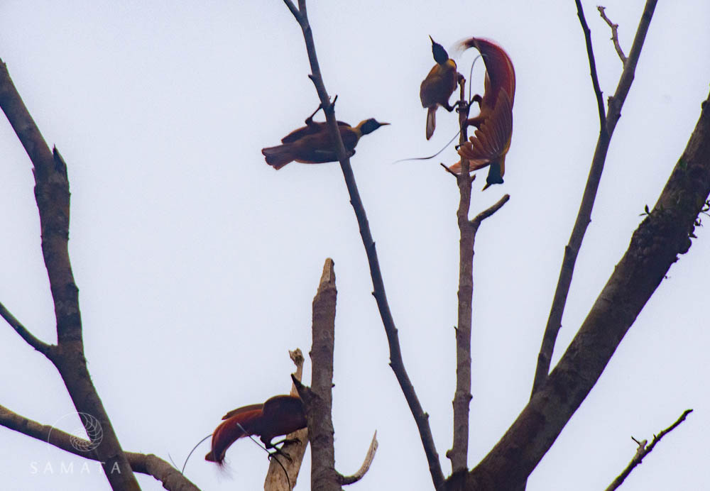 Red Bird of Paradise Bird Watching