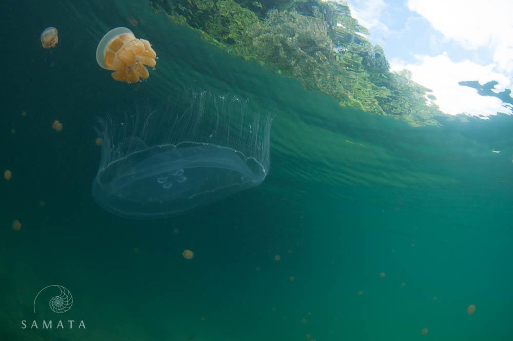 Moon jellyfish and Mastigias