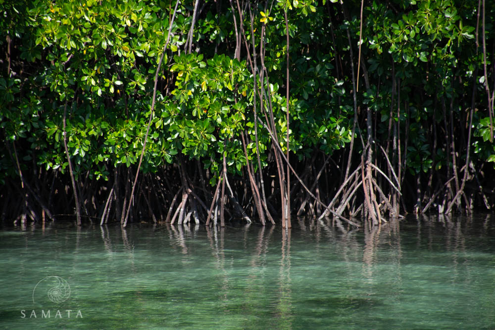 Kayaking into mangrove forests