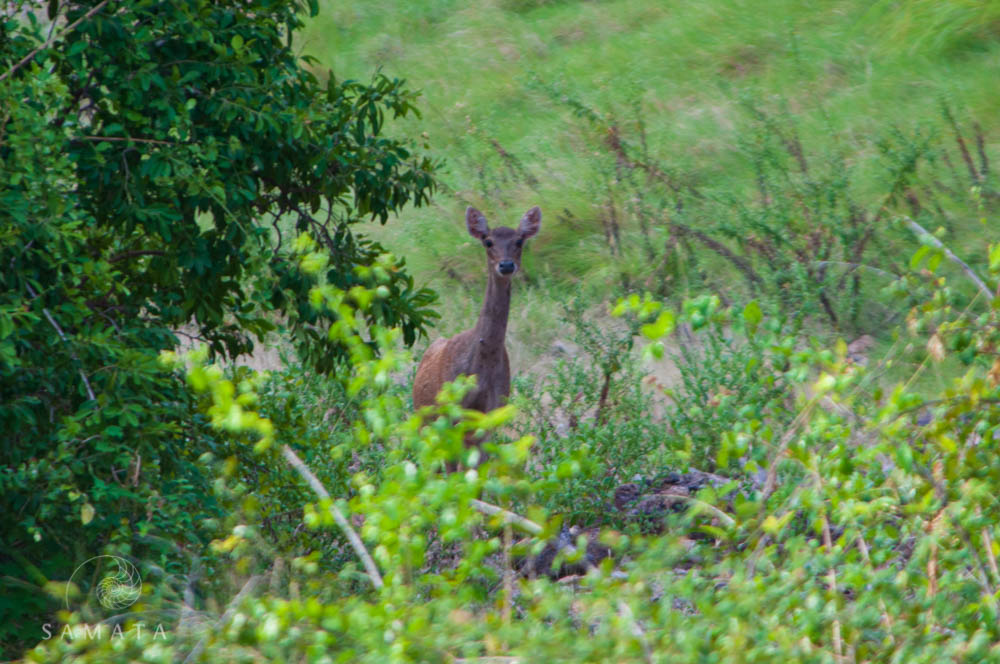 Deer Komodo National Park