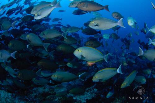 Schooling Surgeonfish